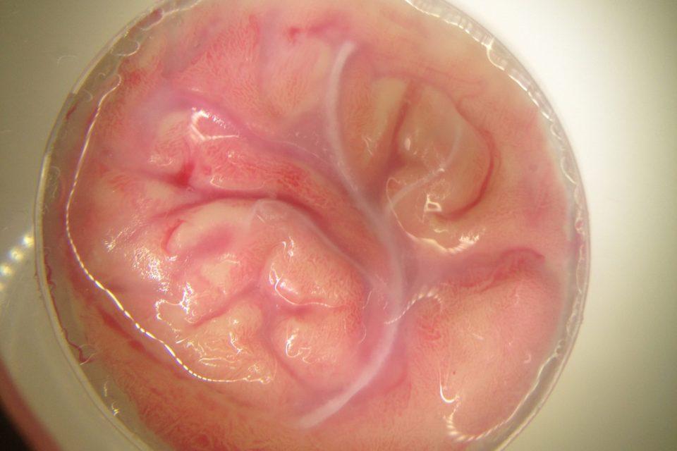 脳表シャーレ(血管台座)